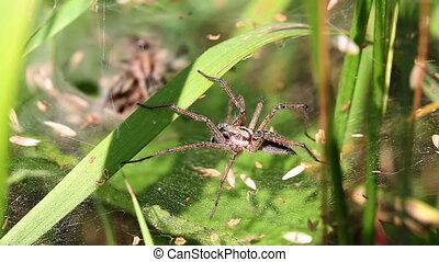 Wolf Spiders - pairing - Wolf spiders in mating - macro shot