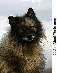 wolf, spitz