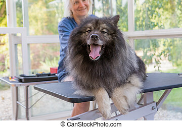 Wolf Spitz dog is ready for trimming
