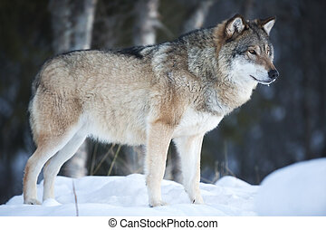 Wolf standing in the cold winter forest - One wolf looking ...