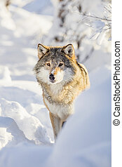 Wolf stands in beautiful winter forest - One wolf standing ...