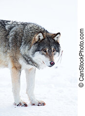 Wolf stands in the snow