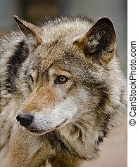wolf, steppe
