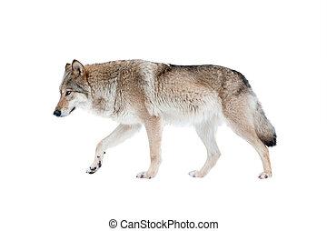 wolf, vrijstaand, op, een, witte achtergrond