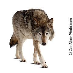 wolf., vrijstaand, op, witte