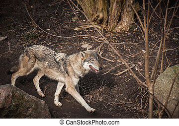 Wolf walking in a forest