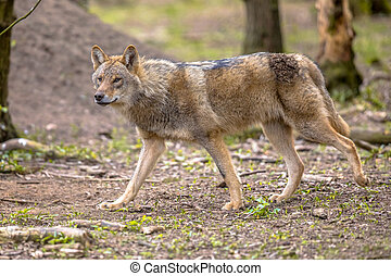 Wolf walking in european forest habitat