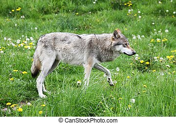 Wolf walking in the nature