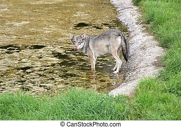 Wolf walking in the water