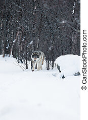 Wolf walking in the winter forest