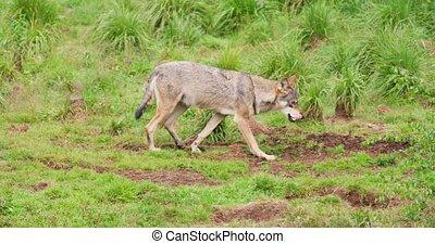 Wolf walking on field in forest - Alert wolf walking on ...