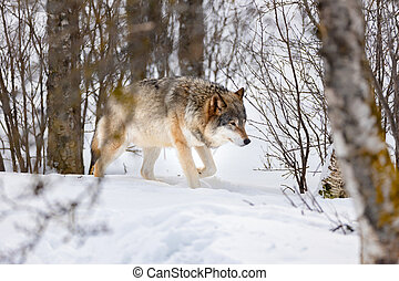Wolf walking through bare trees on snow
