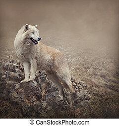 wolf, weißes