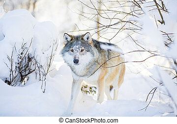 Wolf with wild eyes walking in the snowy winter forest