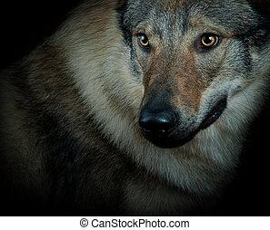 wolfdog closeup
