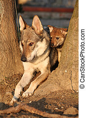 Wolfdog mother with its puppy between two trees