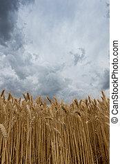 wolkenhimmel, aus, weizen, sturm, field.