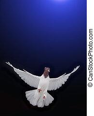 wolny, przelotny, biała gołębica, odizolowany, na, niejaki, błękitny