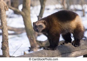 Wolverine (Gulo gulo) - Wolverine in winter