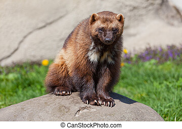 Photo of a wolverine sitting on a rock.