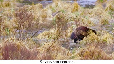 Wolverine running over frozen water in the forest - One...