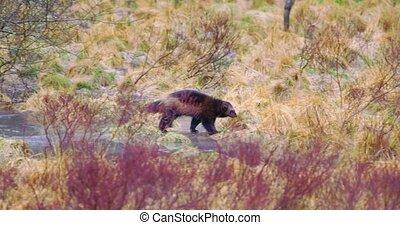 Wolverine runs on frozen water in the forest - One wolverine...
