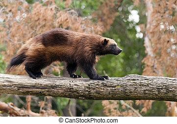 Wolverine - The wolverine, glutton, carcajou, skunk bear, or...