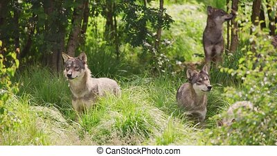 Wolves in a large wolf pack walking in the forest - Wild ...