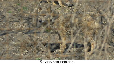 Wolves in Captivity - Brown wolves with dirty fur, living in...