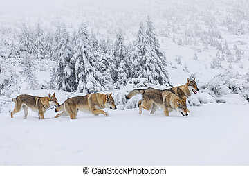 Wolves in the snow - Four wolves in fresh snow in the ...
