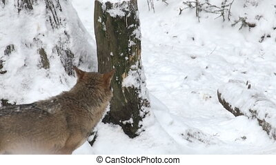 wolves move through in a forest
