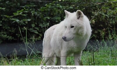 Wolves Prowling And Looking Around - Wolves walk around...