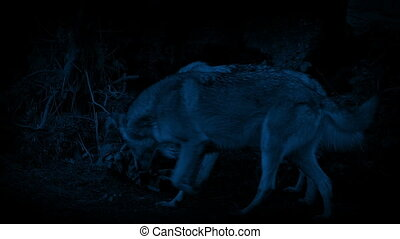 Wolves Scavenging Through Trash At Night - Couple of wolves...