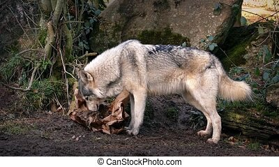 Wolves Scavenging Through Trash - Male wolf joins his female...