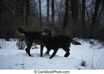 Wolves Sparring - two grey wolves exhibiting dominace