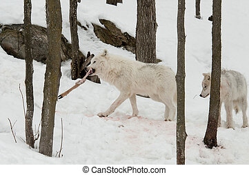 wolves with prey