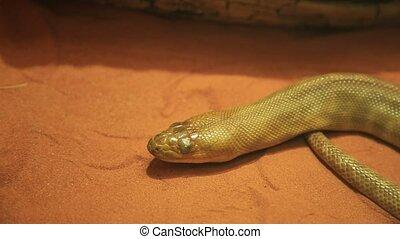 Woma python snake. Aspidites ramsayi species, is an Australian non-venomous snake. Pythonidae snakes family. Nocturnal reptile living in Western Australia and endangered snake.