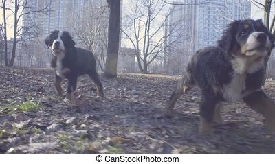 Woman and bernese shepherd dog puppies in park - Woman...