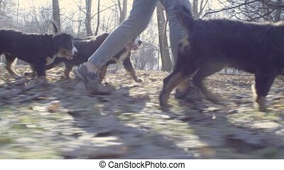 Woman and bernese shepherd dogs puppies in park - Woman...