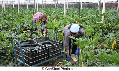 positive adult people collecting marrows in their plantation,