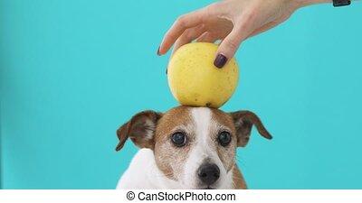 Woman balancing apple on head of dog - Crop female hand...
