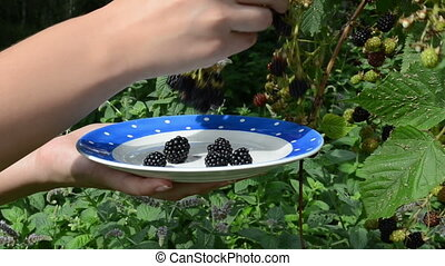 woman blackberry berry - woman hand pick gather collect ripe...