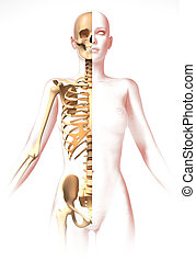 Woman body, with skeleton. Anatomy image, stylized look....