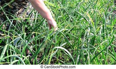 Woman breaks the arrows of garlic in garden