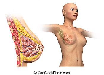 Woman breast cutaway diagram. - Woman breast cutaway, cross...