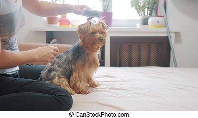woman brushing her dog. dog funny lifestyle video. girl...