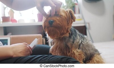 woman brushing her dog. dog funny video. girl combing a little shaggy dog pet care.woman using a comb brush Yorkshire Terrier. friendship and care lifestyle for pets dogs concept