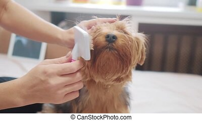 woman brushing her dog. dog funny video. girl combing a little shaggy dog pet care.woman using a comb brush Yorkshire Terrier. friendship lifestyle and care for pets dogs concept