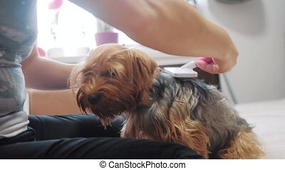 woman brushing her dog. dog funny video. girl combing a little shaggy dog pet care.woman using a comb brush Yorkshire Terrier. friendship and lifestyle care for pets dogs concept