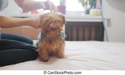 woman brushing her dog. dog funny video. girl combing a little shaggy dog pet care.woman using a comb brush Yorkshire Terrier. friendship and care for pets dogs lifestyle concept